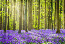 Halle Forest During Springtime...