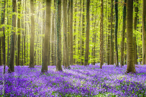 Photo Halle forest during springtime, with bluebells carpet