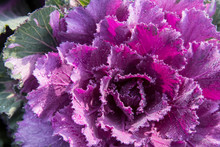 Closeup Of Cabbage