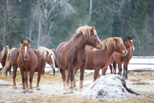 Red Horses In Winter