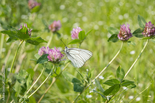 Butterfly Aporia crataegi sits on a clover flower on a green background Canvas Print