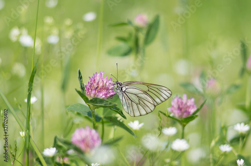 Butterfly Aporia crataegi sits on a clover flower on a green background Wallpaper Mural