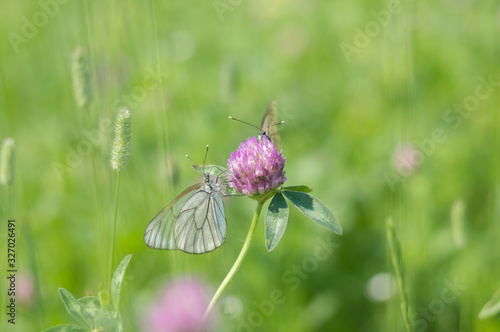 Communication of a pair of butterflies Aporia crataegi sitting on a clover flowe Canvas Print