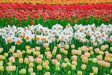 Flowerbed Of Tulips In The Gar...