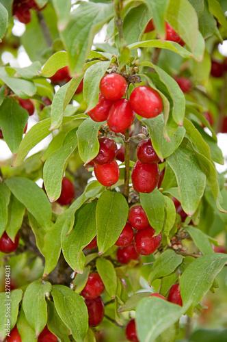 Cornelian cherry tree growing Canvas-taulu