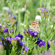 Butterfly On Sea-lavender, Marsh-rosemary