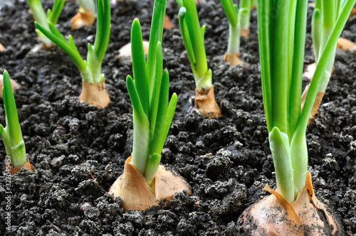 close-up of growing green onion in the vegetable garden