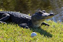 Golfing Alligator