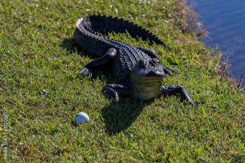 Golfing Alligator Wallpaper Mural