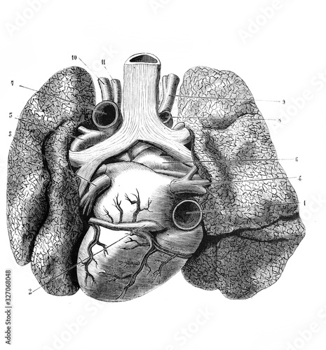 Fototapeta Heart and large vessels and lungs (back side) in the old book D'Anatomie Chirurgicale, by B. Anger, 1869, Paris obraz