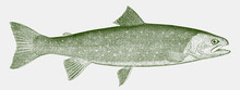 Dolly Varden Trout, Salvelinus Malma In Side View