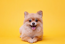 Portraite Of Cute Fluffy Puppy...