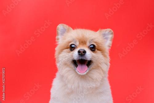 Portraite of cute fluffy puppy of pomeranian spitz Canvas Print