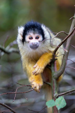 Squirrel Monkey Portrait Close...