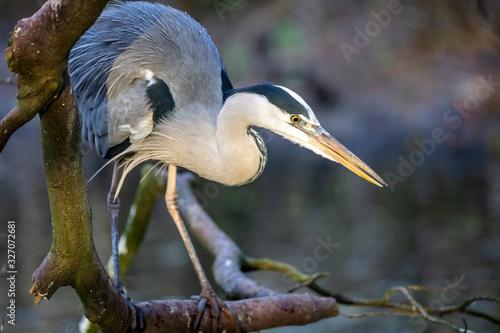 Photo Close up portrait of a Grey heron