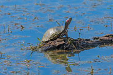 Red Eared Slider Turtle Sunnin...