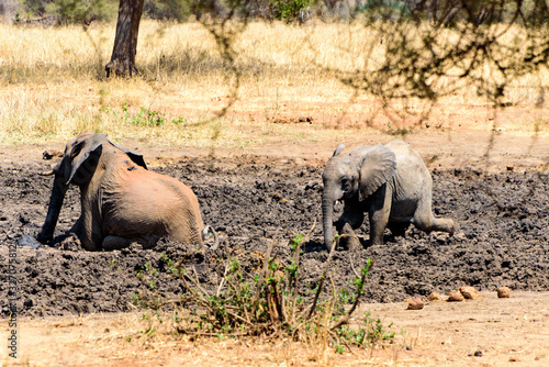 Adult and baby African elephant (Loxodonta africana) wallowing in a mud hole Wallpaper Mural