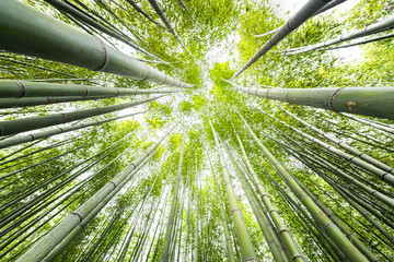 Panel Szklany Podświetlane Drzewa Kyoto, Japan canopy closeup wide angle view looking up of Arashiyama bamboo forest park pattern of many plants on spring day with green foliage color