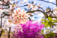 Cherry Blossom Flowers Cluster On Tree Macro Closeup And Blurry Landscape Background And Sakura At Ninna-ji Temple In Kyoto, Japan