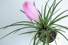 Close-up Of Tillandsia Lindenii Flower. Photographed In The Florist Shop.