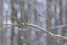 Tufted Titmouse Bird Perched On Snowy Branch In Forest In Winter