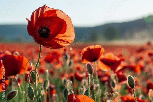 Obraz open bud of red poppy flower in the field. wonderful sunny afternoon weather of mountainous countryside. blurred background - fototapety do salonu