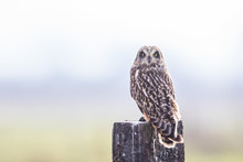 A Short-Eared Owl Looks Over H...
