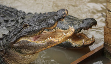 Two Alligators In The Water