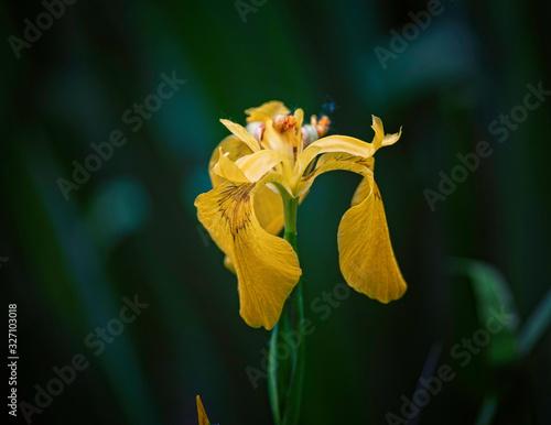 Fototapeta Yellow iris on green garden background. obraz