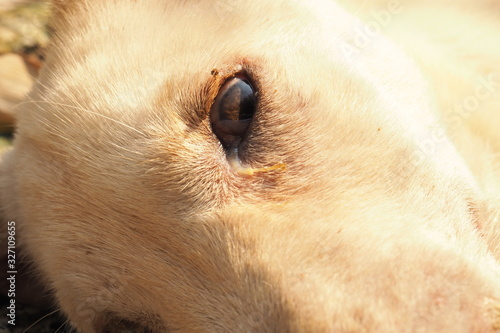 Fototapety, obrazy: A little dog Serious disease, Canine Distemper Virus, Zoom Macro.