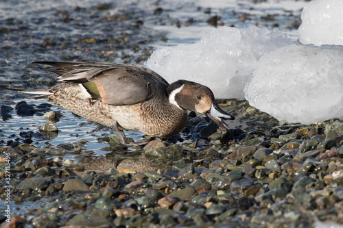 northern pintail male feeding ashore on a winter day Canvas Print