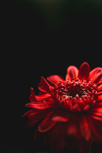 A Red Flower In Front Of A Bla...
