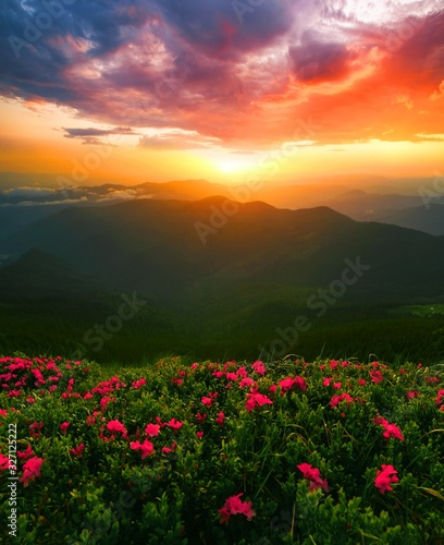 Fototapety, obrazy: vertical blooming nature spring image, amazong mountains morning dawn view on meadow in mountains rhododendron flowers on background green valley, Ukraine and Romania, Marmarosy, Carpathians, Europe