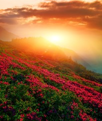 Fototapeta Góry vertical blooming nature spring image, scenic mountains sunset view on meadow in mountains ped pink flowers on background green valley, border Ukraine and Romania, Marmarosy, Carpathians, Europe