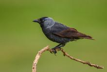 Eurasian Jackdaw - Corvus Mone...