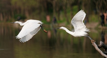 Great White Egret Jumping From...