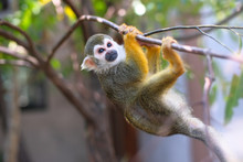 Squirrel Monkey(Common Squirre...