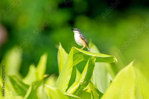 Ashy Prinia perched on turmeric plant Canvas Print