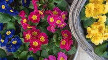 Variety Of Beautiful And Delicate Primroses At Flower Shop. Vernal Seasonal Potted Plants In Baskets. .Primula Vulgaris Plants, Top View, Floral Background