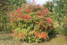 Nandina Domestica Bush With Ripe Red Berries In The Garden. Heavenly Bamboo On Winter Season