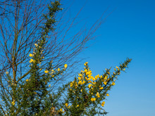 Yellow Gorse Flowers In Winter In North Yorkshire, England, Against A Clear Blue Sky