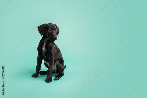 Obraz na plátne Adorable Black Puppy with White Space on Colored Blue Background
