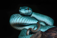 Viper Snake Animal Wild Colorf...