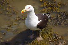 Seagull On Seaweed