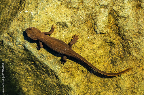 Fototapeta Top view of a rough-skinned or roughskin newt, taricha granulosa, underwater in Trillium Lake, Oregon, USA