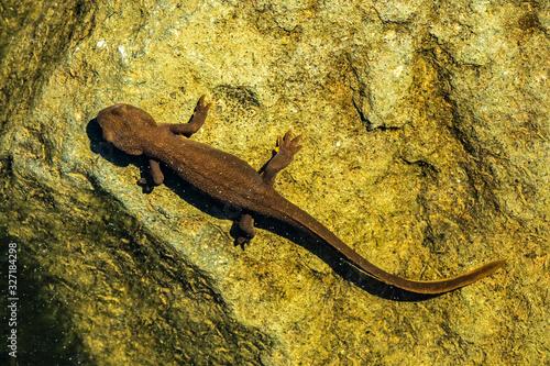 Photo Top view of a rough-skinned or roughskin newt, taricha granulosa, underwater in Trillium Lake, Oregon, USA