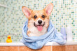 Corgi dog with towel after wash in the bathroom