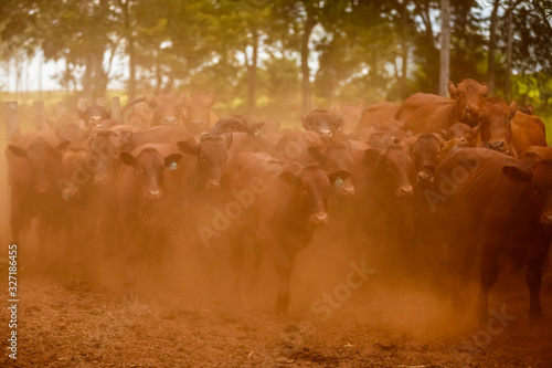 Rebanho de gado da raça Bonsmara Canvas Print