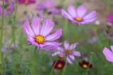 Fototapeta Kosmos - Cosmos flowers with natural background