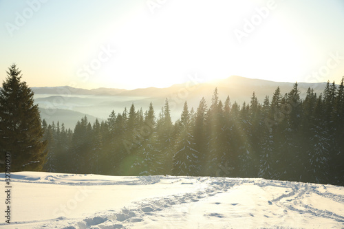 Fototapeta Picturesque view of conifer forest covered with snow at sunset obraz na płótnie